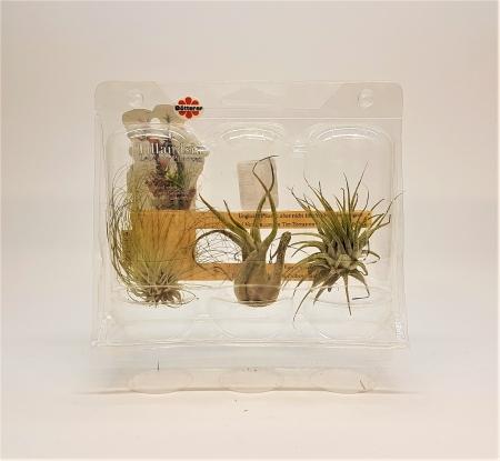 tillandsien set f r w stenterrarium onlineshop f r aquaristik und terraristik top g nstig. Black Bedroom Furniture Sets. Home Design Ideas
